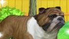 gratis : Cuidar a un bulldog