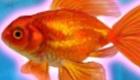 gratis : Juego de pez mascota