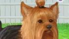 gratis : Juego de un perro Yorkshire