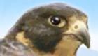 Juego de halcón mascota