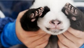 Las 5 fotos de bebés panda más adorables